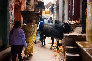 Dożywocie za śmierć krowy. Jak hinduscy nacjonaliści zarzynają przemysł mięsny w Indiach
