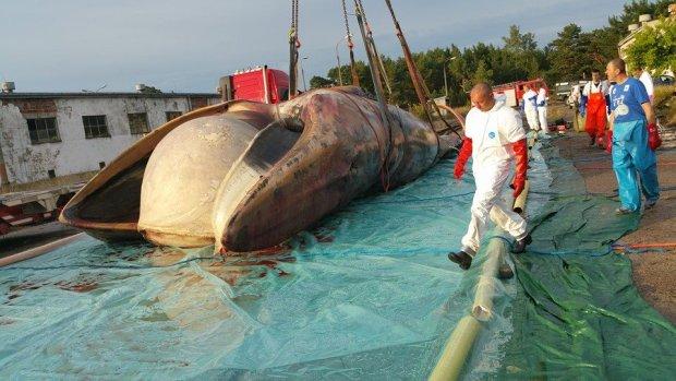 Wieloryb w Ba�tyku. Zauwa�one w Stegnie zwierz� uda�o si� ju� wyci�gn�� z wody [ZDJ�CIA]