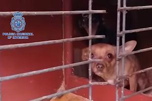 230 psów odbitych przez hiszpańską policję. Szkolone do specjalnych celów [WIDEO]