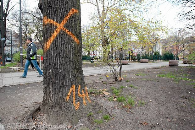 Jedno z drzew na pl. Wolności przeznaczone do wycinki