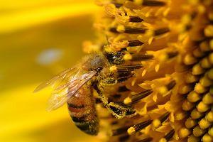 Pierwsze pszczo�y na li�cie zagro�onych gatunk�w w USA