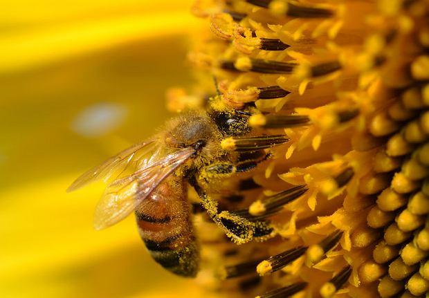 Pierwsze pszczoły na liście zagrożonych gatunków w USA