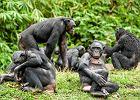 Szympansy bonobo dzielą się mięsem - z obcymi!
