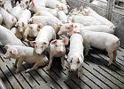Świnie z ludzkimi organami