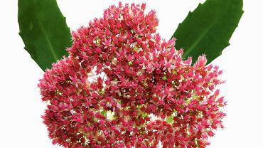 SUKULENTY. Rozchodnik pochodzi z północnej Afryki, południowej Europy i Azji. Dorasta nawet do 70 cm. Imponujące kwiatostany jesienią przebarwiają się z zielonych na czerwone i różowe.