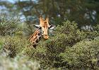 Dlaczego znikają żyrafy?