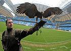 Sokolnik Marcin Szymczak z myszołowcem towarzyskim (jastrząb Harissa) podczas prezentacji na stadionie w Poznaniu. Ptak ma za zadanie odstraszać gołębie