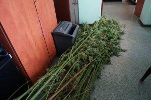 Marihuany nie b�dzie. Policjanci zlikwidowali nielegaln� plantacj� w lesie