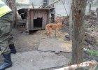 Krótki łańcuch, waląca się buda, skrajnie wychudzony pies. To działka polityka PSL. Dziś weszli tam inspektorzy