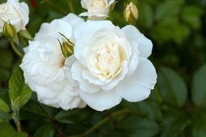 Białe róże - co oznaczają i co symbolizują?