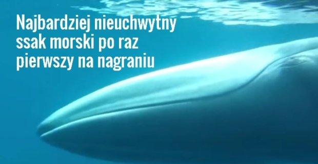 Znale�li najbardziej nieuchwytnego ssaka morskiego. Szukali go 15 lat i uda�o si� go nagra�!