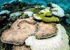 Korale padają z przegrzania