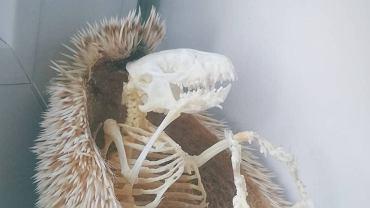 Szkielet jeża