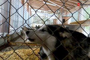 Jak się żyje syberyjskim psom pociągowym w górach Szwajcarii? [WIDEO]