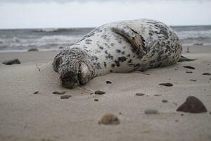 30 martwych fok na brzegu Bałtyku. Co było przyczyną ich śmierci?