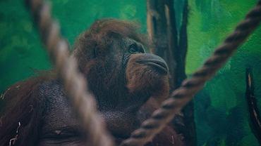 Raja i Albert - orangutany z Gdańskiego Ogrodu Zoologicznego