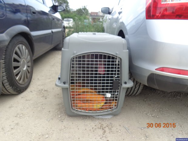 """Zaczyna się. Policjanci uwolnili wycieńczonego psa z nagrzanego samochodu. Właściciele: """"Wyżeł jest odporny"""""""