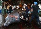 Japonia wr�ci do po�ow�w wieloryb�w? Rzecznik rz�du: Wci�� analizujemy wyrok Trybuna�u
