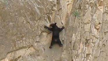Niedźwiedź czarny na ścianie Kanionu Santa Elena