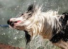 Jak pies z kotem: dlaczego mokry pies śmierdzi?