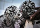 Przeurocze bia�e tygrysy urodzi�y si� pod �odzi�. Mru�� oczy i tul� si� do siebie [WIDEO]