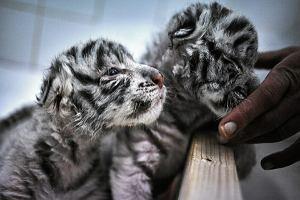 Przeurocze białe tygrysy urodziły się pod Łodzią. Mrużą oczy i tulą się do siebie [WIDEO]