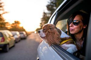 Pies jadący 'luzem' w aucie może  złamać oparcie fotela i kręgosłup pasażera  [Jak przewozić zwierzęta?]
