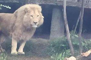 Lew zabi� m�czyzn� w Tbilisi. W�r�d mieszka�c�w wybuch�a panika