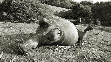 Bella, samica nosorożca, zabita dla 1 cm rogu