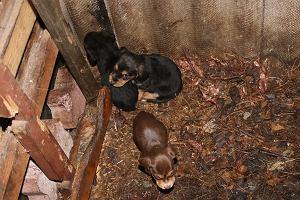 Makabryczne odkrycie: 15 martwych psów na działce