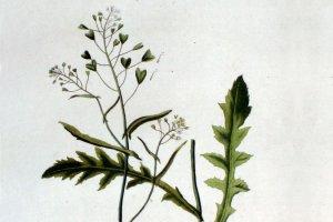 Tasznik - warzywo przedwio�nia
