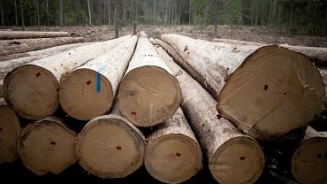 Puszcza Białowieska, okolice Czerlonki, Zwały ściętych drzew