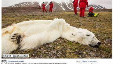 Greenpeace: Niedźwiedź polarny umarł przez topnienie lodu. Naukowiec: To manipulacja