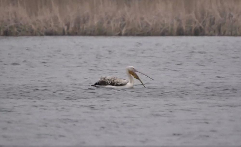 Pelikan różowy pod Warszawą