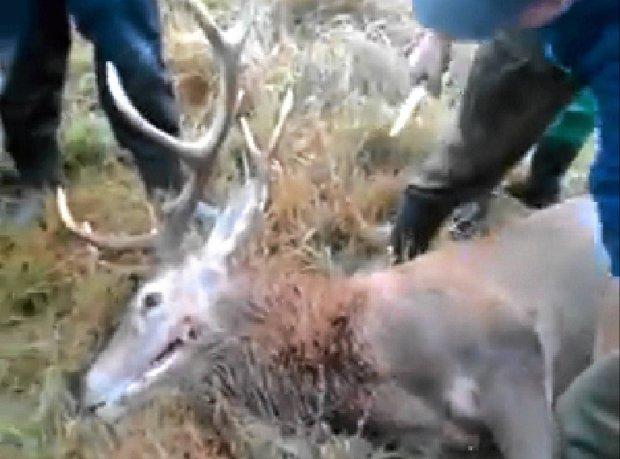 Kto się znęcał nad jeleniem? Ustala to policja z Drawska i... z Mazowsza