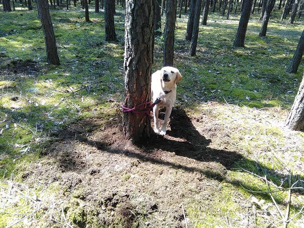 Zostawił go na pewną śmierć. Straż miejska szuka człowieka, który przywiązał psa do drzewa