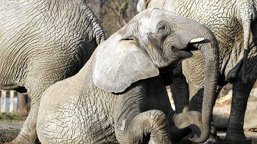 Słonie Afrykańskie w Warszawskim ZOO