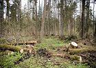 Lasy Państwowe chcą ostro zwiększyć limity wyrębu w Puszczy Białowieskiej. Ekolodzy alarmują
