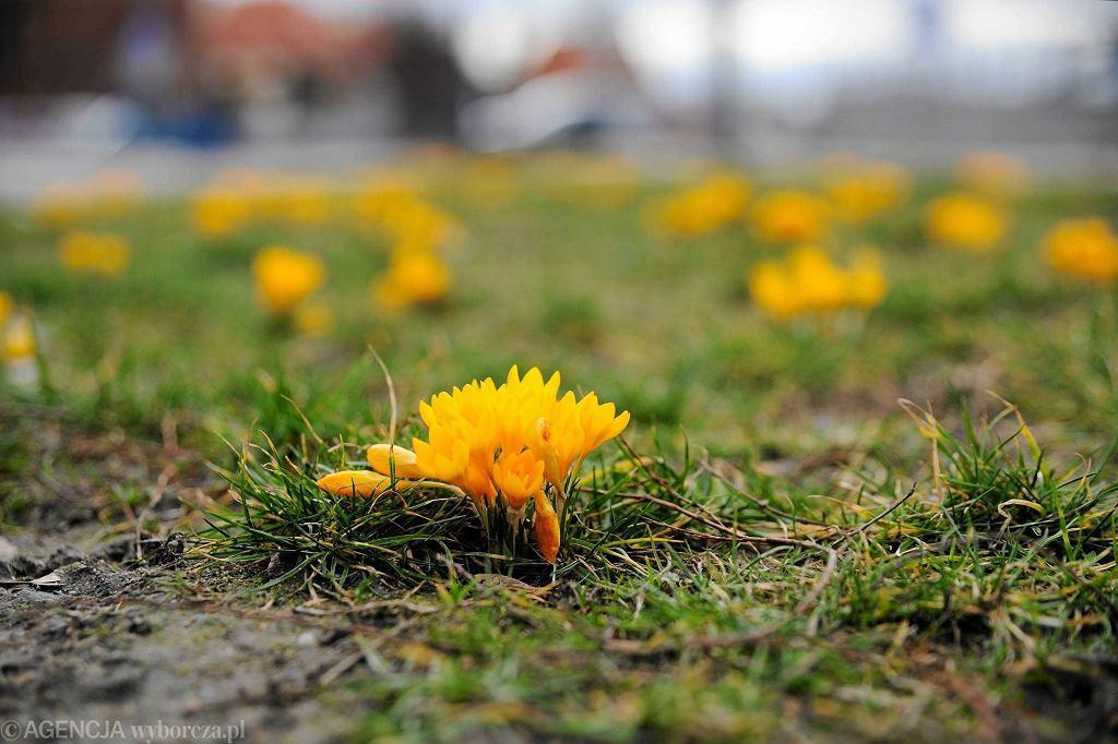Pierwsze oznaki wiosny w lutym - krokusy na Placu Bema