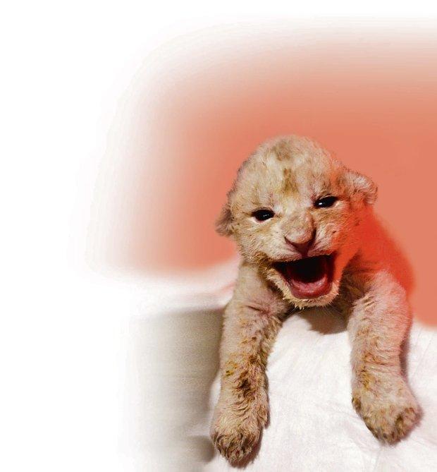 Sk�d pochodzisz kr�lu zwierz�t? Znamy ju� drzewo rodowe lwa