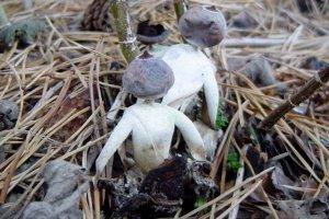 Nowo odkryty gatunek grzyb�w przypomina... ma�e ludziki