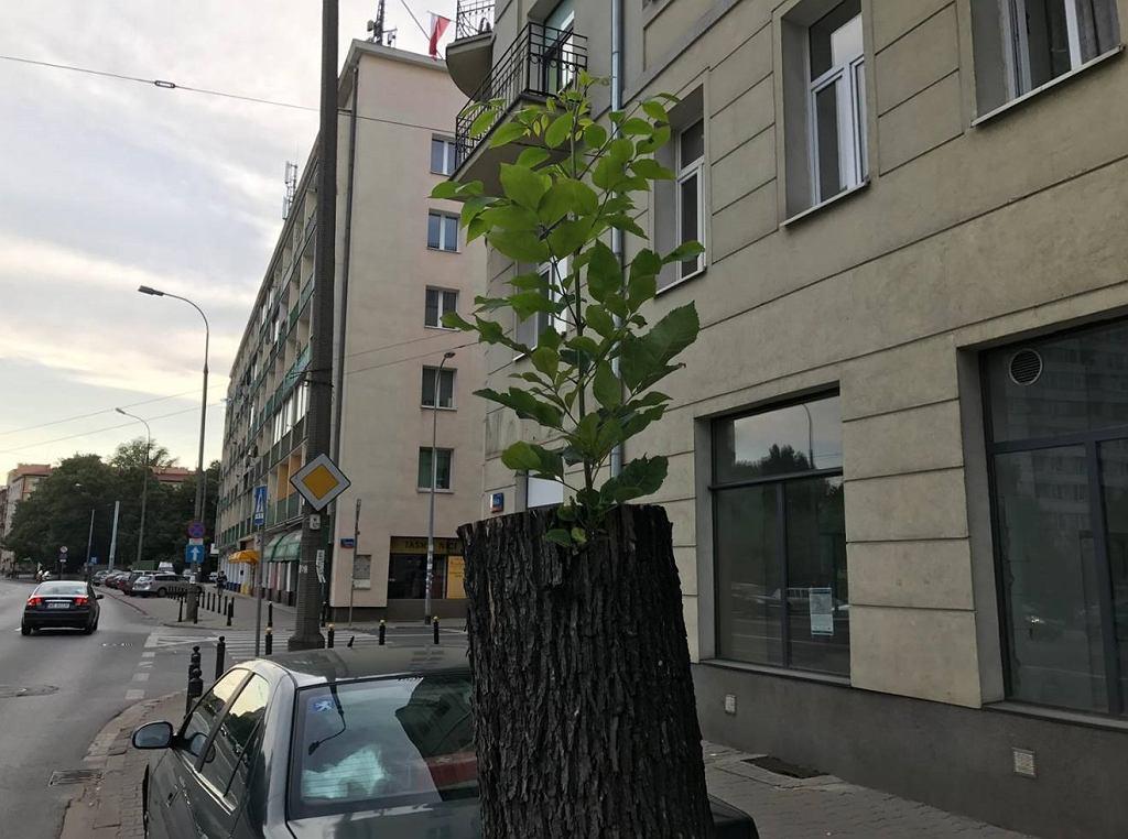 Powalone drzewo odżyło