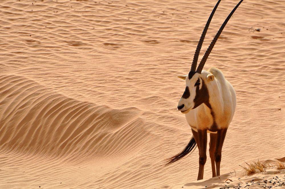 Oman. Oryks arabski / fot. shutterstock