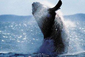 Naukowcy policzyli wieloryby. Zrobili to z... kosmosu
