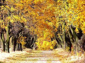 Acer drzewo