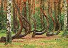 Krzywy Las ko�o Gryfina