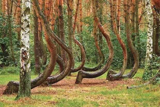 Krzywy Las koło Gryfina