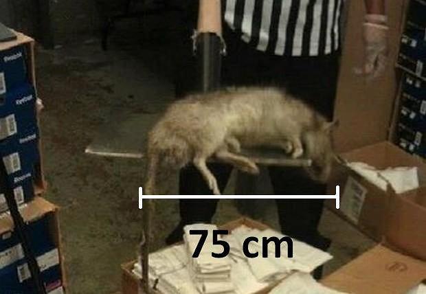 Wielkoszczur znaleziony na Bronksie
