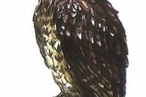Puszczyk (Strix aluco)