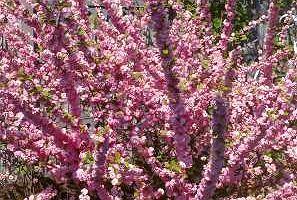 Migda�ek - Prunus triloba